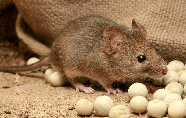 fare ilaçlamanın önemi, fare ilaçlama nedeni, fare nasıl ilaçlanır