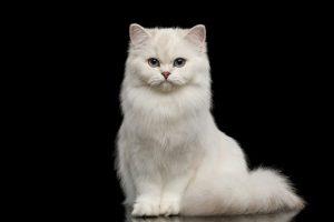 kedi soyu, kedilerin soyu nereye dayanıyor, kedi türleri